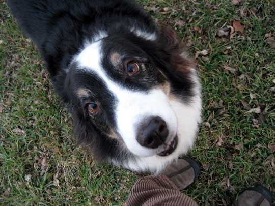 5 Best Toys for Australian Shepherds