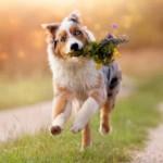 Is My Australian Shepherd Puppy's Energy Level Normal?