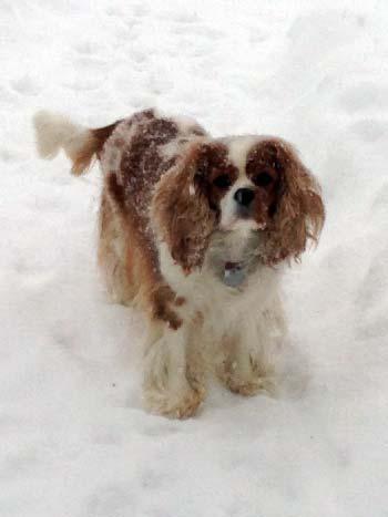 King Charles Cavalier in snow
