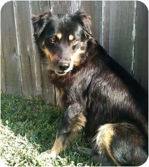Aussie Rottie Mix - Karen ShanleyAustralian Shepherd Rottweiler Mix Information