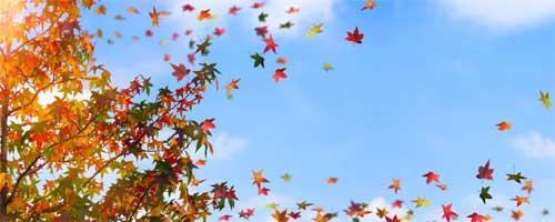maple leaves blowing in wind